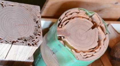 国産杉(左)とパイン材(右)の対シロアリ実験